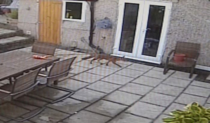 PAY-A-fox-was-filmed-coming-into-a-house