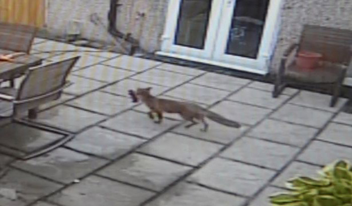 PAY-Fox-leaving-the-house-with-the-controller-in-its-mouth