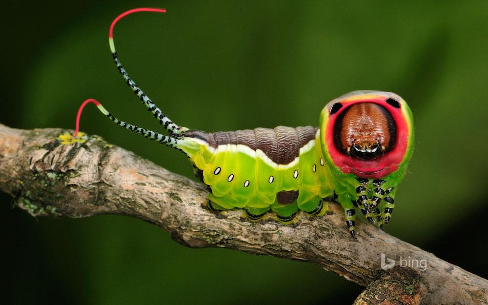 OPPO Puss moth caterpillar