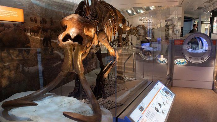 Вчені хочуть воскресити мамонтів за допомогою редагування генів